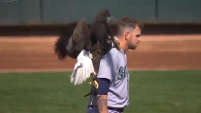 Bald eagle makes unexpected landing on the shoulders of Mariners' pitcher